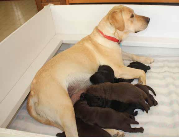 Labrador Retriever 4 Sale Labrador Retrievers fo...