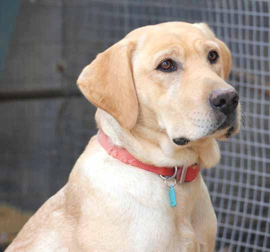 Labrador Retriever For Sale In Arizona Labs For Sale Az Lab For