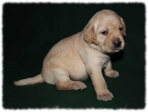 Yellow Labrador Retriever puppies for sale in arizona, labrador