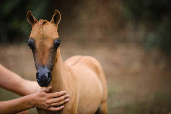 Miniature Horses For Sale In Arizona Miniature Horses For Sale In