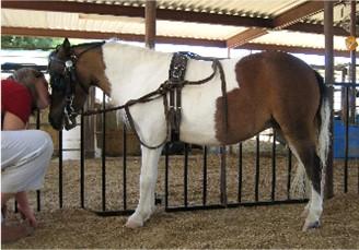 Miniature horse for sale in Az, miniature horse breeder ... | 328 x 229 jpeg 34kB