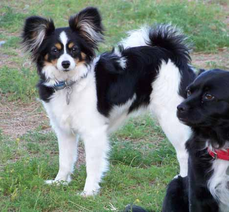 Papillon Puppies For Sale Papillons For Sale In Arizona Az