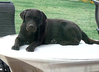 Labrador Retriever Puppies For Sale In Arizona Az Labrador