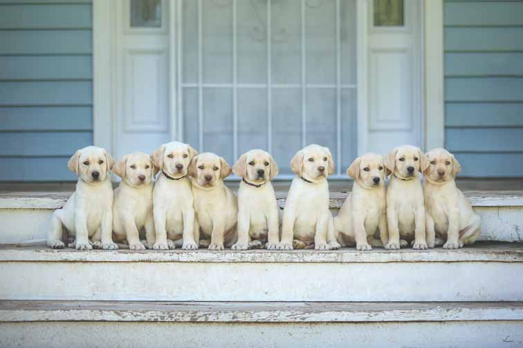 Labrador Retrievers In Arizona Hunting Dogs For Sale Labs For Sale