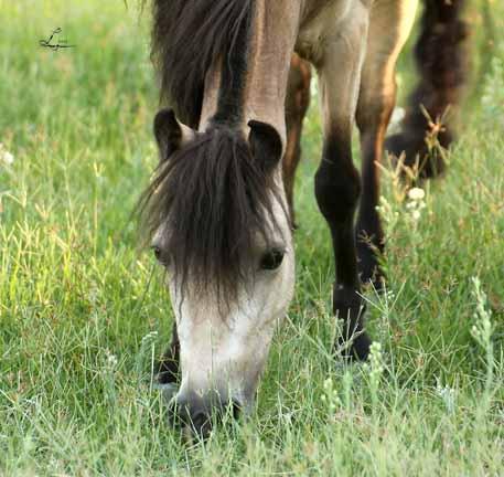 versataility farms miniature horses in arizona amhr and