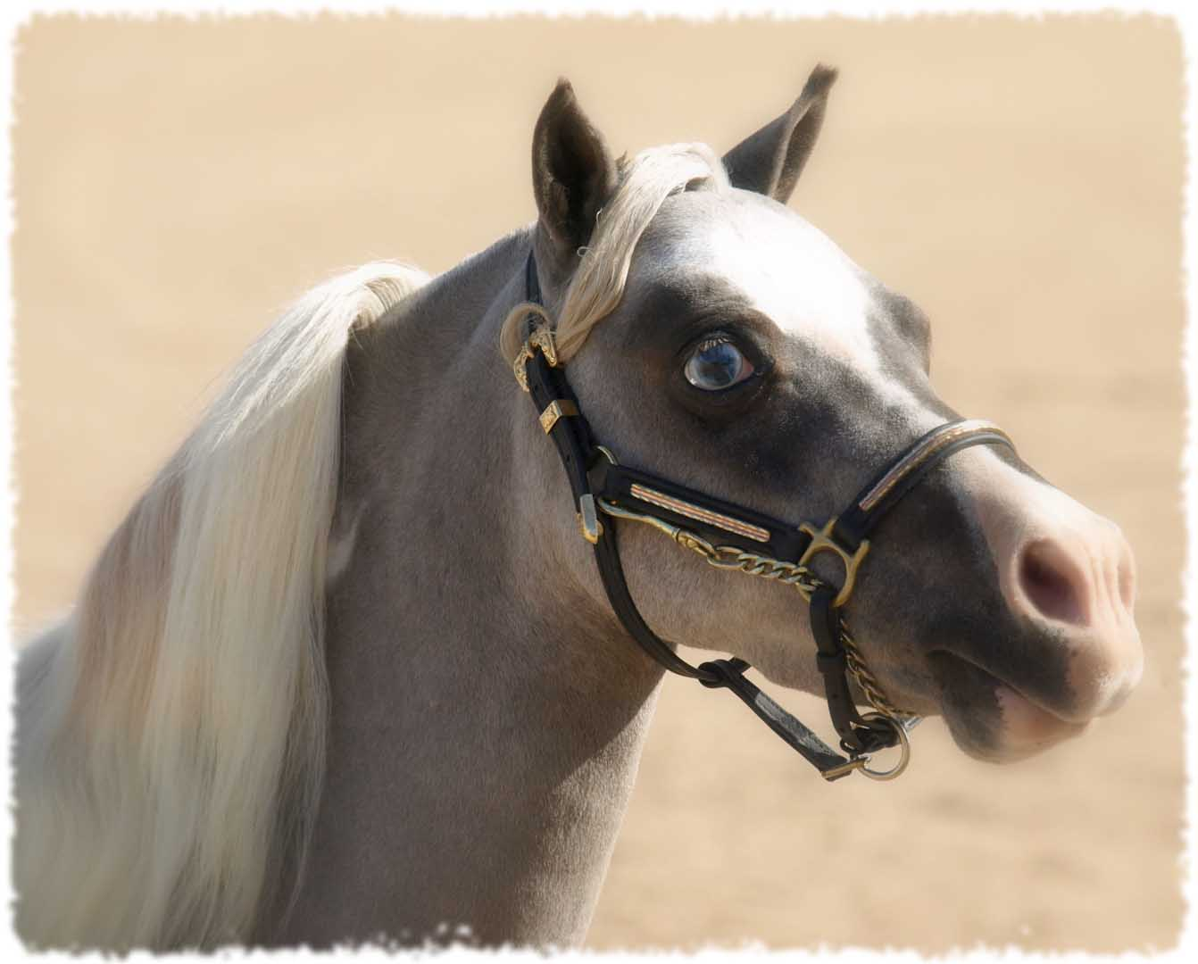 miniature horse arizona, miniature driving gelding for ... | 1342 x 1080 jpeg 86kB