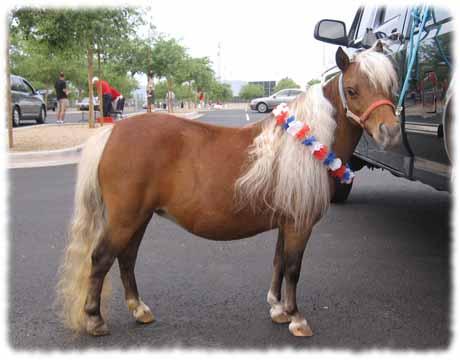 Miniature Horse Bay Colt for sale in Arizona; mini colt ... | 460 x 360 jpeg 46kB